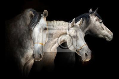 Drei Pferd Porträt auf schwarzem Hintergrund