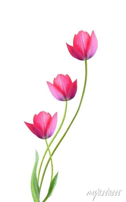 Sticker Drei Tulpeblumen getrennt auf weißem Hintergrund
