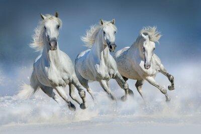 Drei weiße Pferd laufen Galopp im Schnee