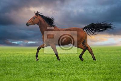 Dressur-Pferd im Trab auf einem Gras gegen Sonnenuntergang Himmel
