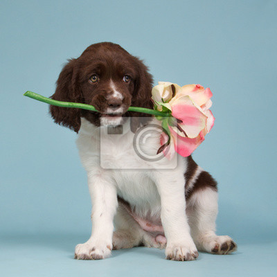 Dutch partridge dog puppy with a pink rose