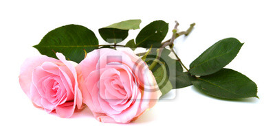 Ein paar rosafarbene Rosen getrennt auf weißem Hintergrund