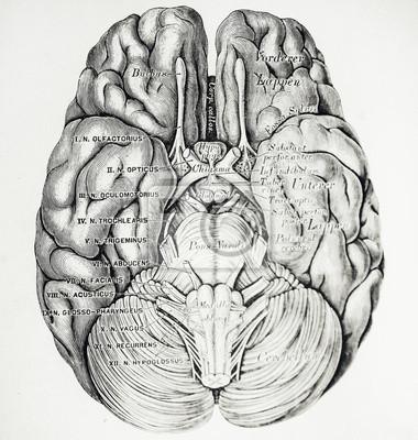 Eine gravierte Illustration des Gehirns aus einem Vintage Buch Descriptive und Topographische Anatomie von C. Heitzmann und veröffentlicht in Wien, 1875.