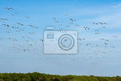 Eine große Gruppe von Migranten Möwe fliegt über Mangrovenwald in Richtung Meer