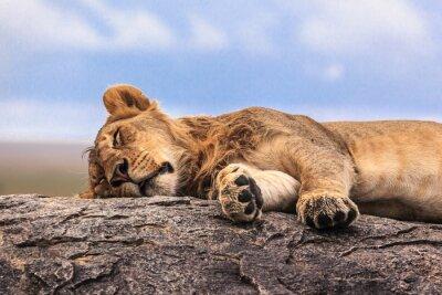 Sticker Eine Löwin schläft auf dem Felsen in Serengeti NP, Tansania, Afrika