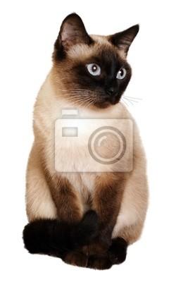 Eine siamesische Katze mit hellen blauen Augen auf einem weißen Hintergrund