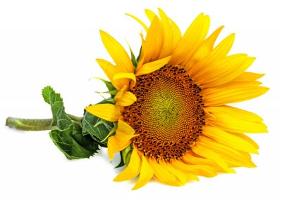 Sticker eine Sonnenblume auf weißem Hintergrund