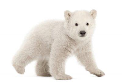 Sticker Eisbärbaby, Ursus maritimus, 3 Monate alt