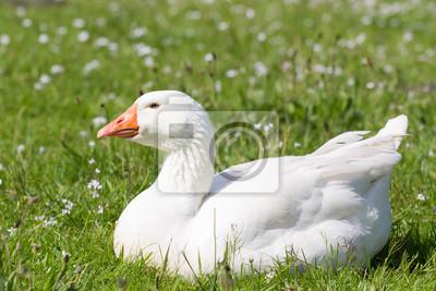 Emden Gans ruhen im Gras