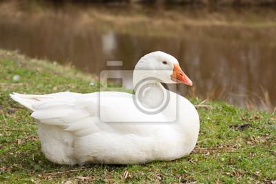 Emden Goose zur nahe einem Graben