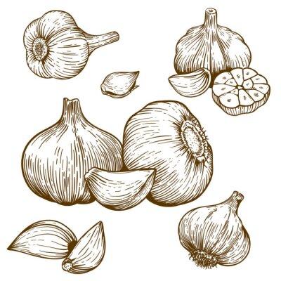 Sticker engraving illustration of garlic
