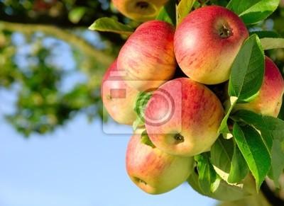 Sticker Erntereife farbenfrohe Äpfel am Ast