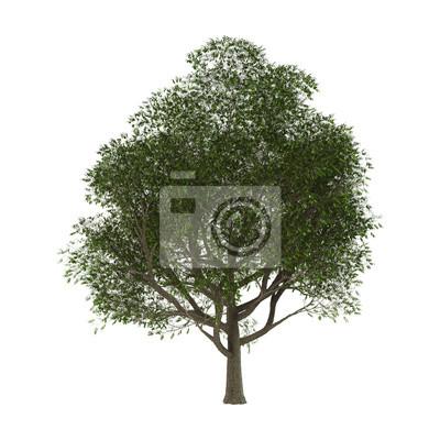 Esche-Baum auf Weiß