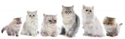 Sticker Familie persische Katzen
