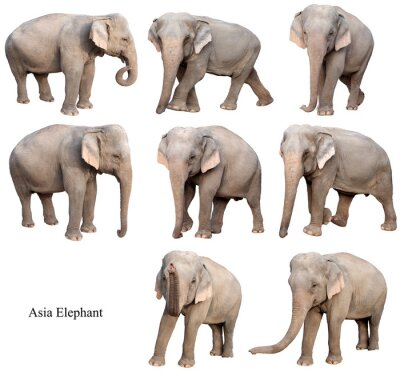 Sticker female asia elephant isolated