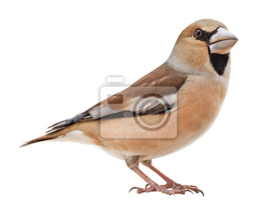 Sticker Female Hawfinch (Coccothraustes coccothraustes), isolated on white background
