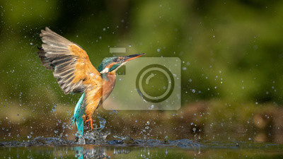 Sticker Female Kingfisher emerging from the water after an unsuccessful dive to grab a fish.  Taking photos of these beautiful birds is addicitive now I need to go back again.