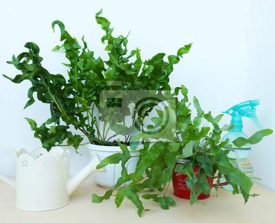 Fern Home Pflanze. Microsorum scolopendrium Grüne Welle. Pteris PHLEBODIUM