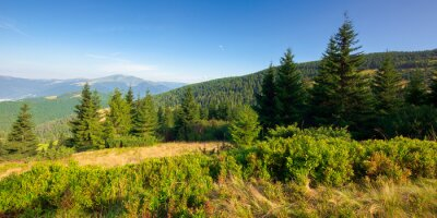 fir trees on the mountain meadow. wonderful morning scenery in summer. fog in the distant valley. exploring carpathians concept. blue cloudless sky