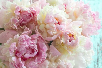 Flaumige rosa Pfingstrosen blüht Hintergrund
