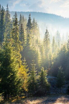 foggy sunrise in spruce forest. beautiful nature scenery in mountains. sun light glowing in hazy atmosphere