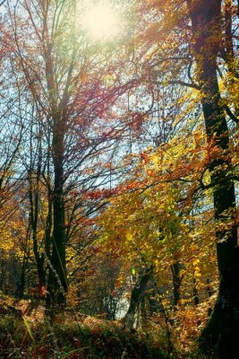 forest in fall foliage. beautiful nature background on a sunny autumn day. colorful scenery in the beech woods