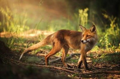 Sticker Fox auf Sommer Wald
