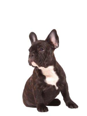 Sticker Französisch Bulldog Welpen (3 Monate alt) - Stock Image