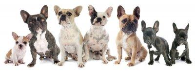 Sticker französisch bulldoggen