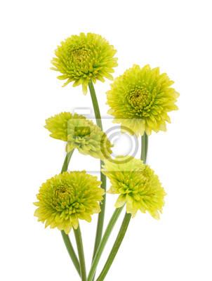 Frische grüne Chrysanthemenblumen getrennt auf Weiß