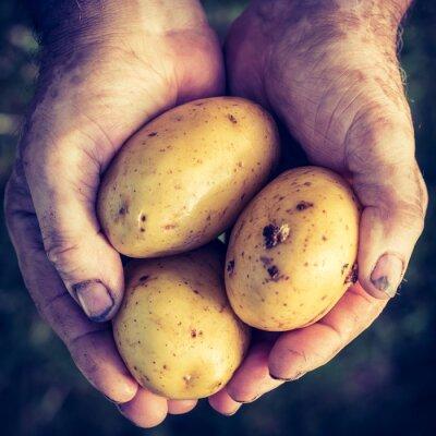 Sticker Frische Kartoffeln in den Händen