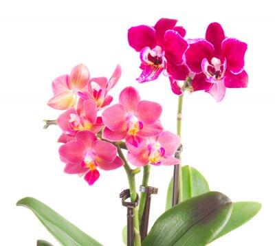 Sticker Frische rosa Orchidee im Topf