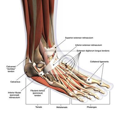 Fuß-anatomie beschriftete dorsale seitliche ansicht über weißen ...