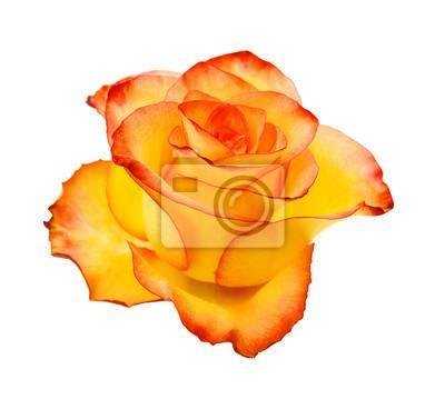 Gelbe Rose getrennt auf weißem Hintergrund