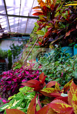 Gewächshaus mit Hauspflanzen. .Wintergarten. Coleus. Verschiedene Sorten.