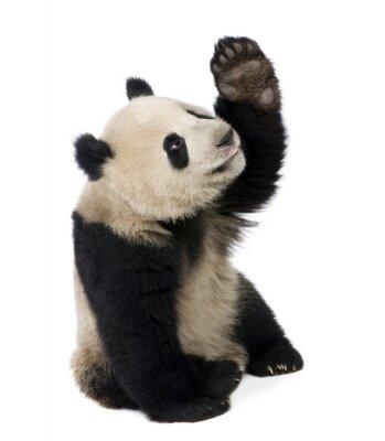 Sticker Giant Panda (18 Monate) - Ailuropoda melanoleuca