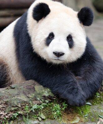 Sticker Giant Panda posiert für die Kamera, Chengdu, Szechuan, China