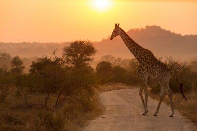 Sticker Giraffe At Sunrise Kruger National Park