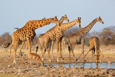 Sticker Giraffe Herde (Giraffa camelopardalis) an einem Wasserloch, Etosha Nationalpark, Namibia.