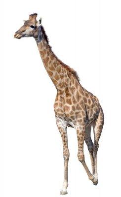 Sticker Giraffe isoliert auf weißem Hintergrund
