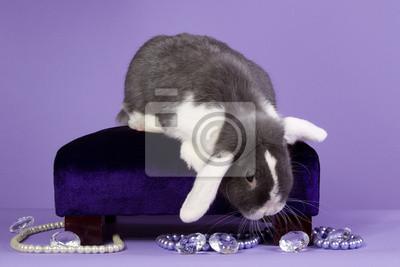Glamour Mini-Lop Rabbit