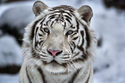 Sticker Glamour Porträt eines jungen weißen Bengal Tiger