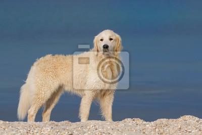 Golden Retriever Hund, der in Meer