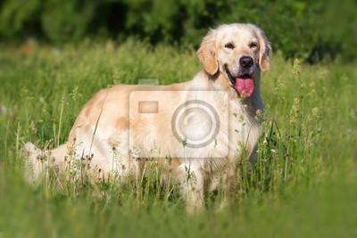 Golden Retriever Hund im Park steht