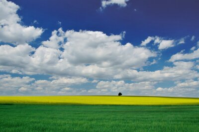 Goldenen Bereich der blühenden Raps mit schönen Wolken am Himmel mit wunderbaren grünen Feld und kleinen Baum am Horizont - brassica napus - wunderbare Frühjahr Tapeten