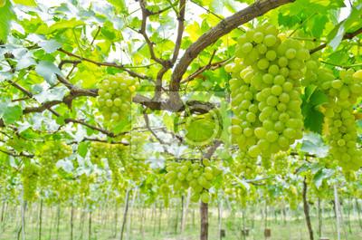 Grape Garten
