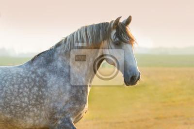 Grau Pferd Porträt