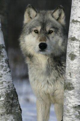 Sticker Grauer Wolf, Canis lupus