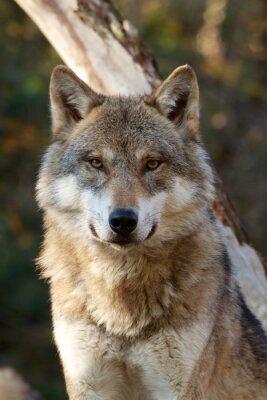 Sticker Grauer Wolf - Canis Lupus
