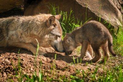 Sticker Grauer Wolf (Canis lupus) Mutter und Pup-Touch Außen Den